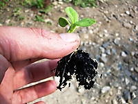 Seedling grown in biochar