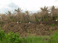 Decomposing Biomass :: Oil palm waste